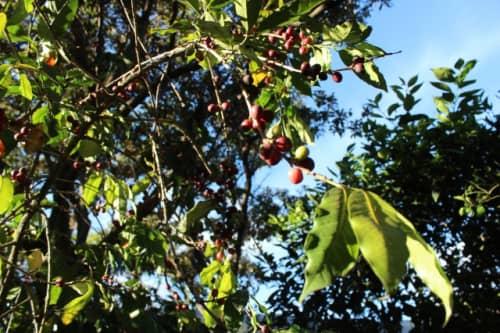 収穫前のコーヒー豆