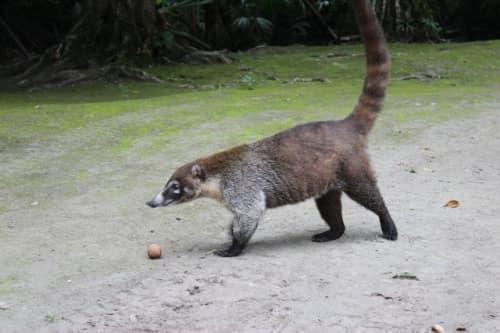 食べ物を探しているハナグマはかつてマヤ人のペットだったという説も。