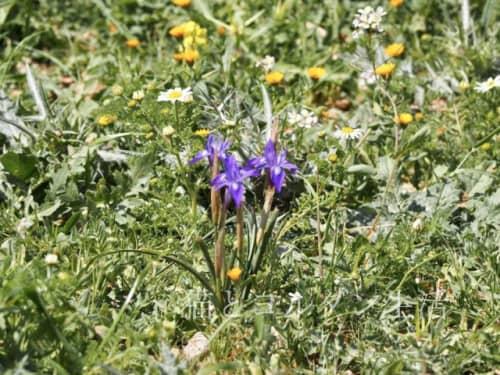 マダバ近郊の花畑の花。アヤメの仲間。
