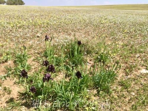 ヨルダン国花、ブラックアイリス(Iris Nigricans)