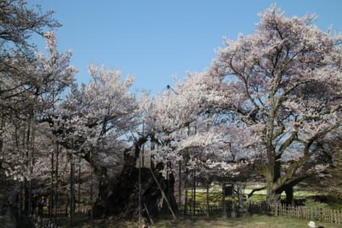 実相寺 神代桜