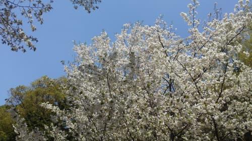 台湾も4月は桜が咲きます
