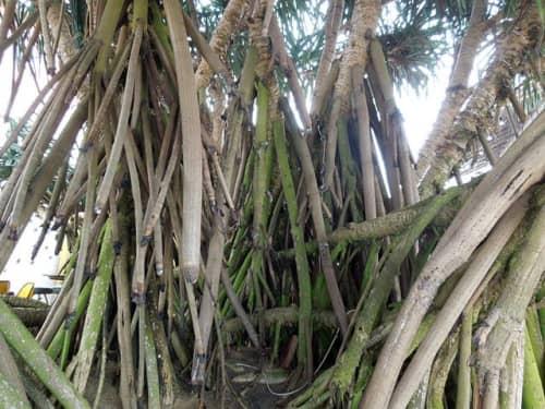 ビーチの植物(ゴール)