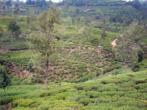 ヌワラエリヤの茶畑の風景