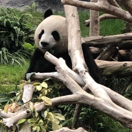 マカオのパンダ