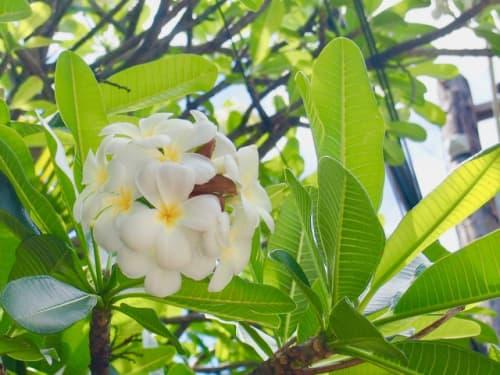 ハワイ白い花