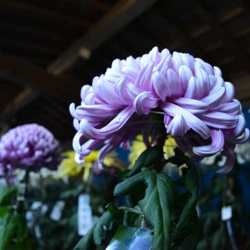 弥彦神社境内の菊