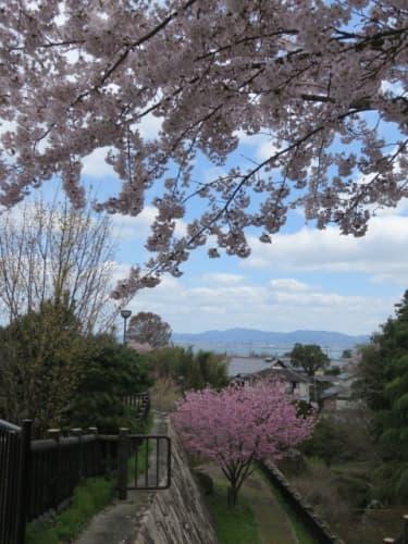桜と琵琶湖