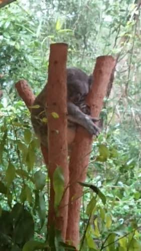 ハートリーズ動物園コアラ