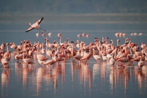 ピンクフラミンゴの群れ
