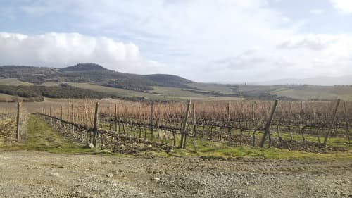 モンテプルチアーノのブドウ畑