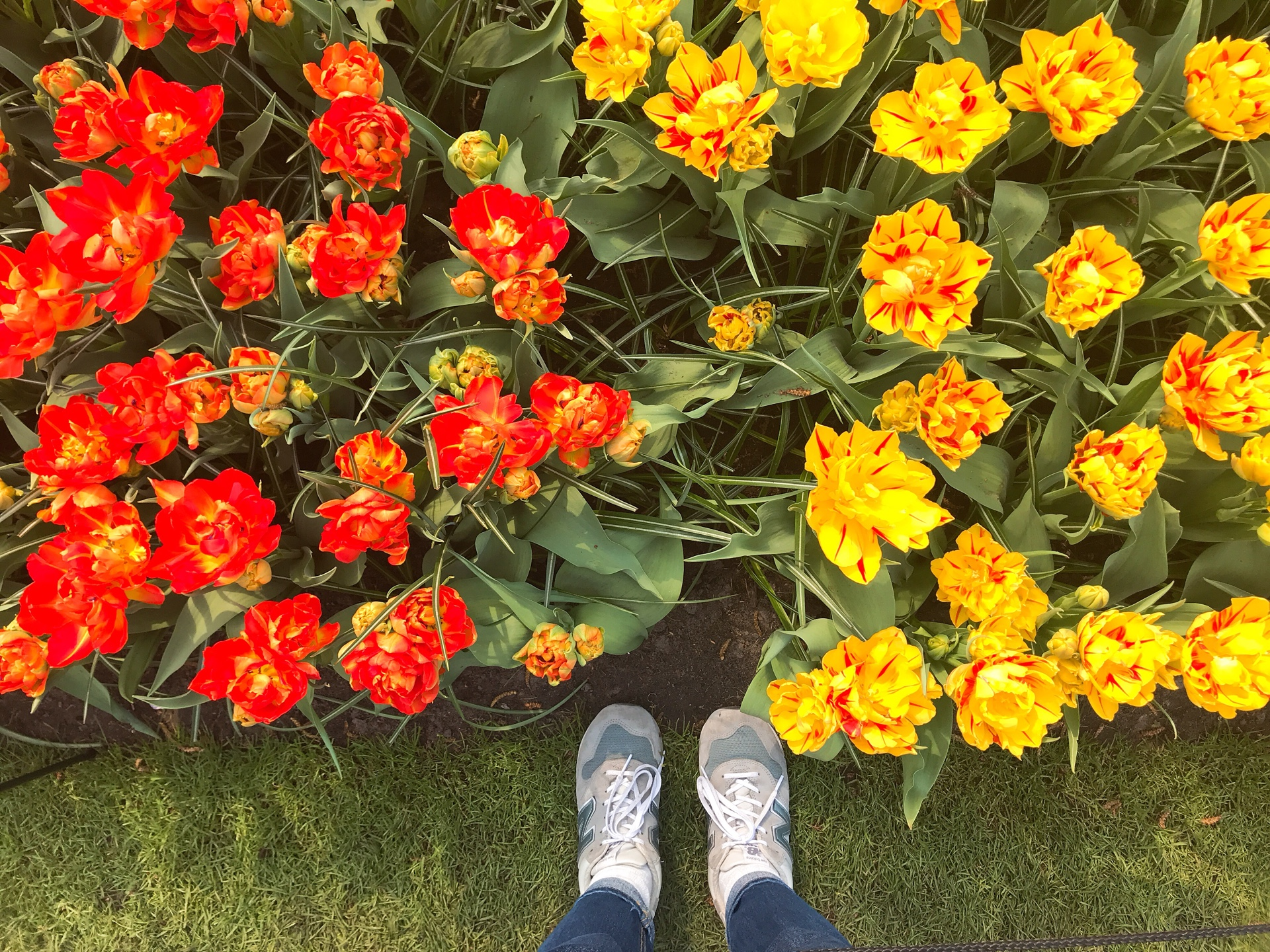 オランダ アムステルダム キューケンホフ公園のチューリップ