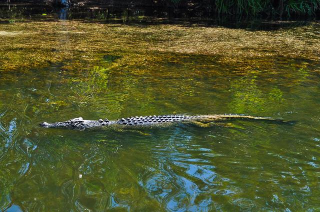 カカドゥ国立公園内で泳ぐクロコダイル