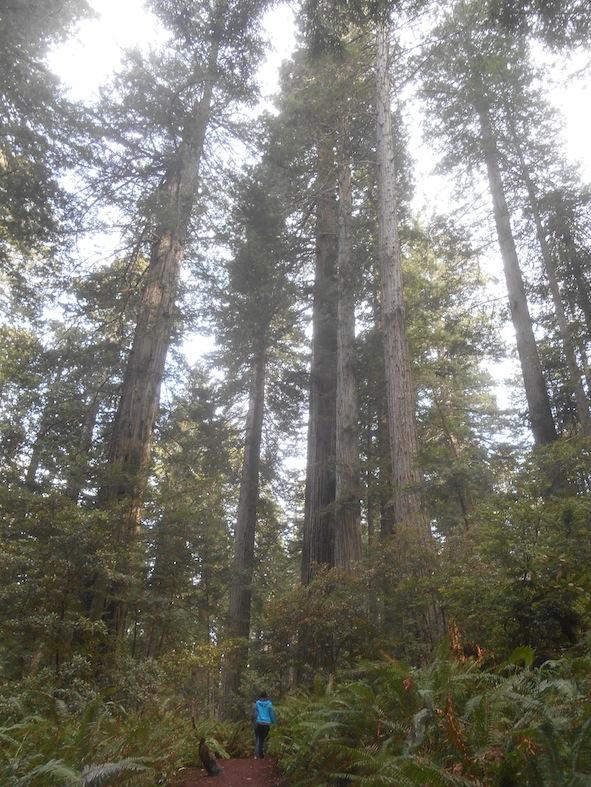 レッドウッド国立・州立公園の木