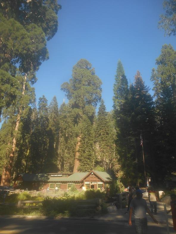 セコイア国立公園の木