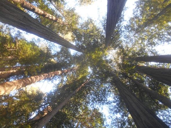 レッドウッド国立・州立公園のトールツリー・グローブ