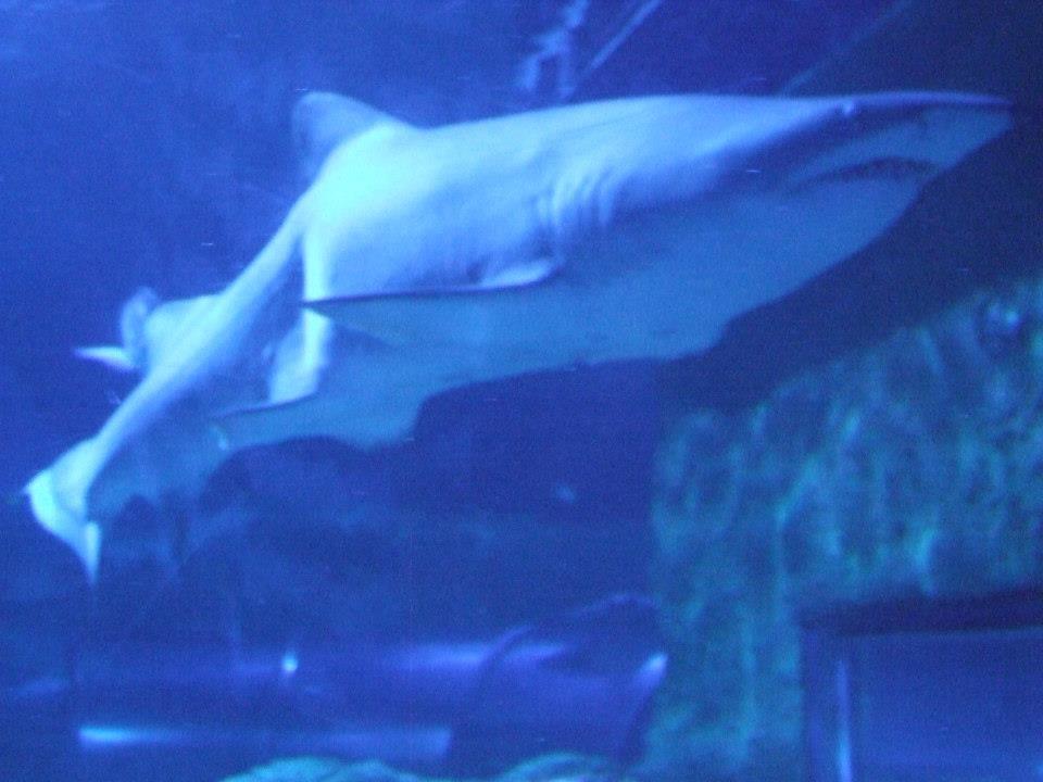 aqwa shark