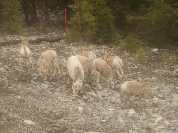 バンフ国立公園内の野生動物