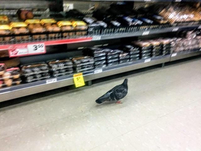 【ニュージーランドの文化と習慣】注意点10:おおらかな心持ち【スーパーで出会うハトたち】