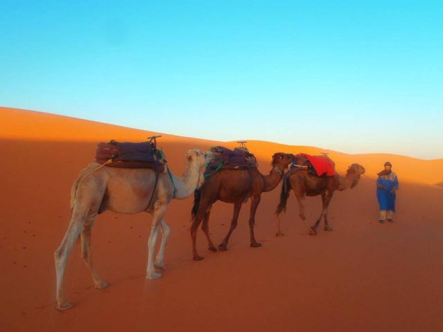 サハラ砂漠のラクダ達