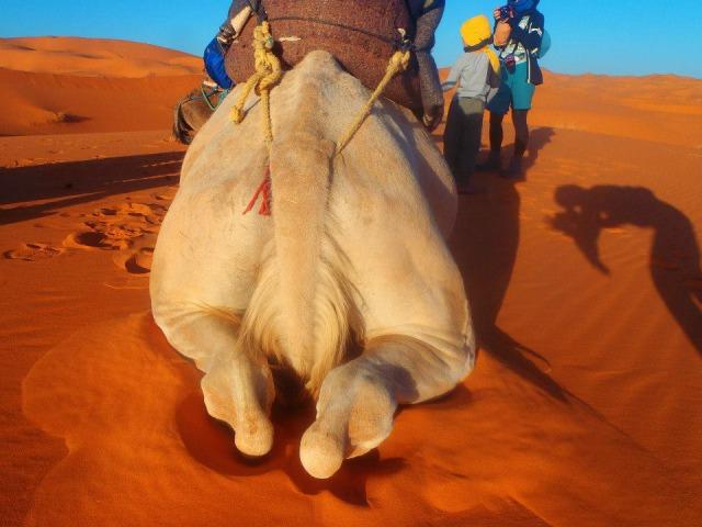 サハラ砂漠のラクダ おしり