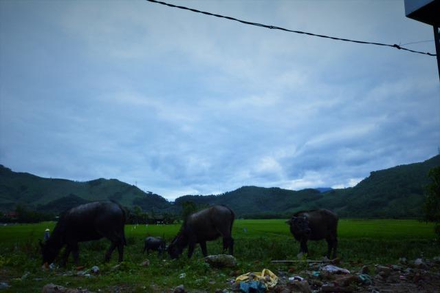 ベトナムの牛