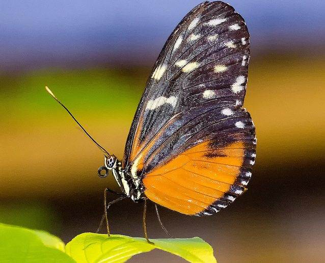 Marco Mus: Heliconius Hecale
