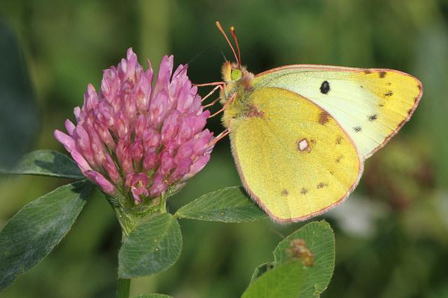 Marco Mus: Colias Hyale
