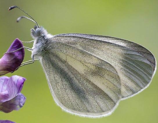 Marco Mus: Leptidea Sinapis (Boswitje)