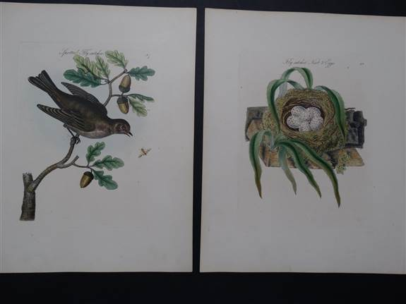 Find great artwork from the past. Here mid 18th century herbals for Elizabeth Blackwell's Curious Herbal