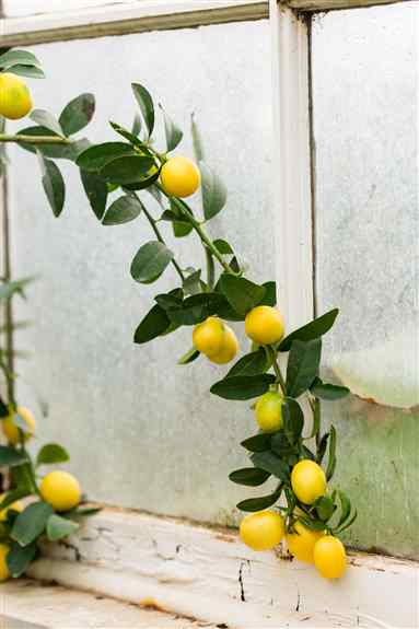 Lemon Love at Christianson's Nursery. The wonderful fragrance and luxury of citrus bloom may be exactly what 2021 ordered. Check out our citrus blog here: https://www.christiansonsnursery.com/2021/01/20/citrus-grow-citrus-oranges-lemons-limes/