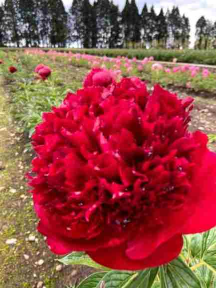Peony Red Charm~These large 3-5 eye roots grow beautiful red peonies. They bloom May to June.
