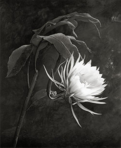 Queen of the Night DeCosse, Cy  (American, b.1929)