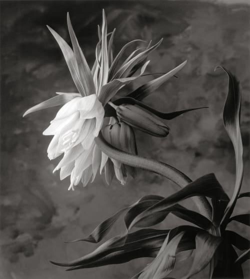 Fritillaria DeCosse, Cy  (American, b.1929)