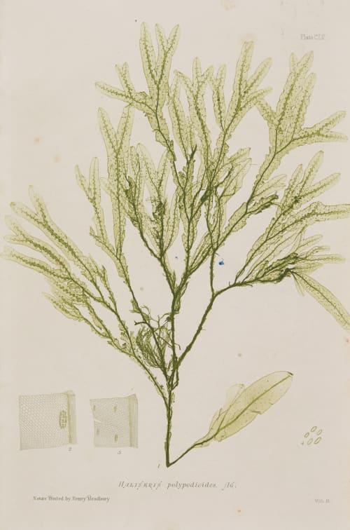 Haliseris Bradbury, Henry  (British, 1831-1860)