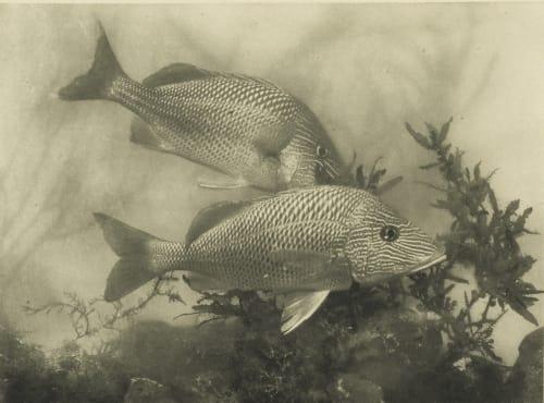 Fish Dugmore, A. Radclyffe  (American, 1870-1955)