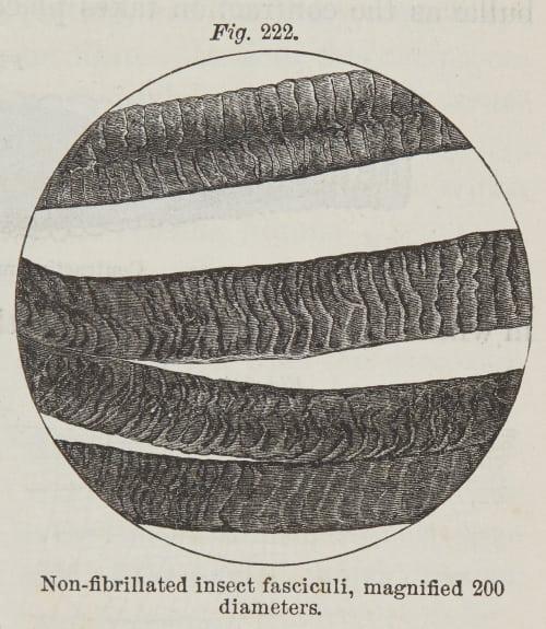 Fig. 222  Non-fibrillated Insect Fasciculi Draper, John William  (American, 1811-1882)