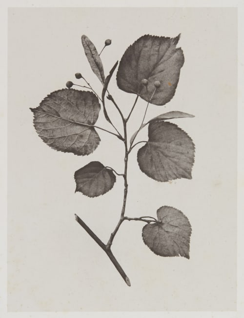 Tilacées – Tilia Parvifolia Gayffier, Eugène Charles de  (French, 1830-1910)