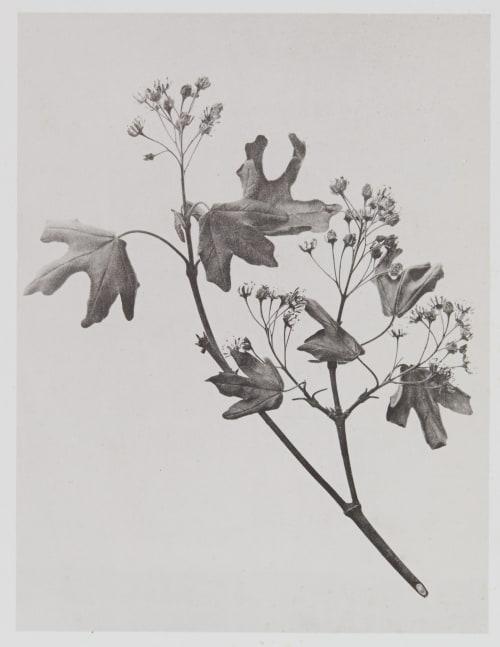 Acérinées – Acer campestre Gayffier, Eugène Charles de  (French, 1830-1910)