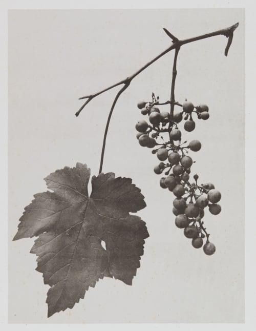 Ampélidées – Vitis vinifera Gayffier, Eugène Charles de  (French, 1830-1910)