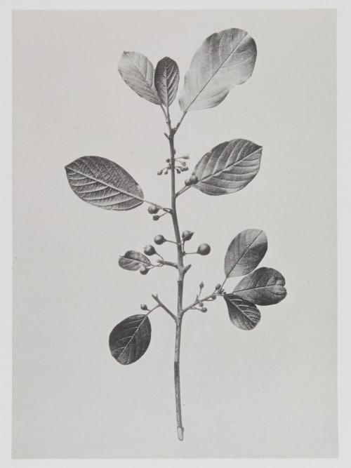Rhamnées – Frangula vulgaris Gayffier, Eugène Charles de  (French, 1830-1910)
