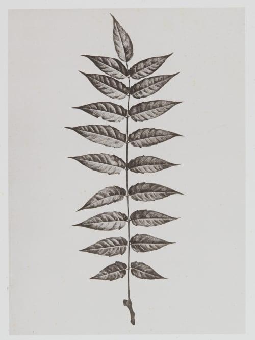 Térébinthacées – Ailantus glandulosa Gayffier, Eugène Charles de  (French, 1830-1910)