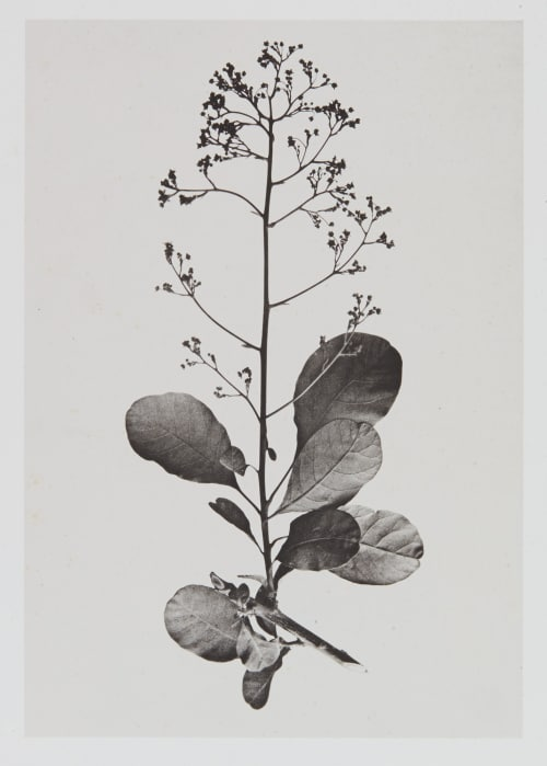 Térébinthacées – Rhus cotinus Gayffier, Eugène Charles de  (French, 1830-1910)