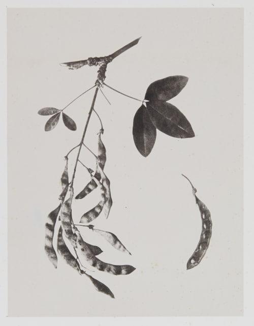 Papilionacées – Cytisus Laburnum Gayffier, Eugène Charles de  (French, 1830-1910)