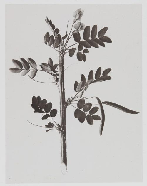Papilionacées – Robinia Caragana Gayffier, Eugène Charles de  (French, 1830-1910)
