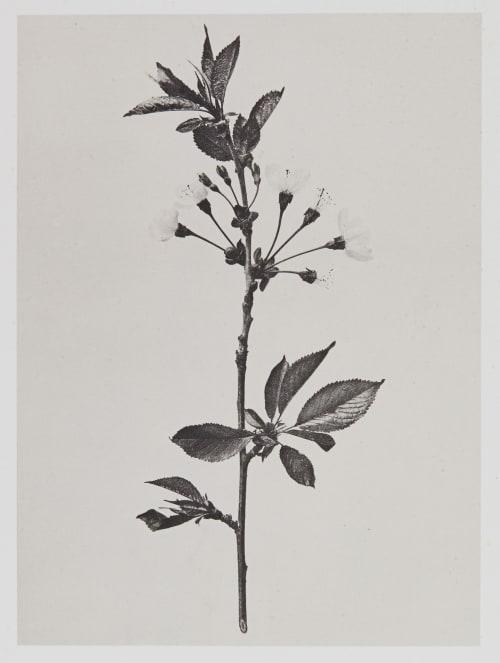 Amygdalées – Cerasus avium Gayffier, Eugène Charles de  (French, 1830-1910)