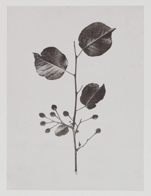 Amygdalées – Cerasus Mahaleb Gayffier, Eugène Charles de  (French, 1830-1910)