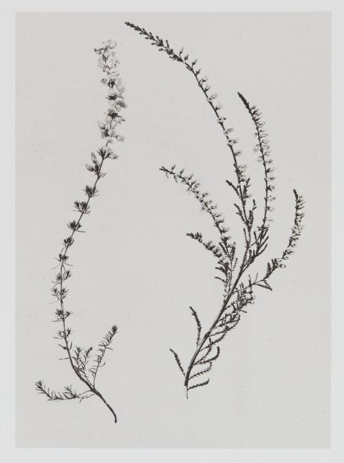 Éricinées – Erica cinerea Bruyère cendrée Gayffier, Eugène Charles de  (French, 1830-1910)