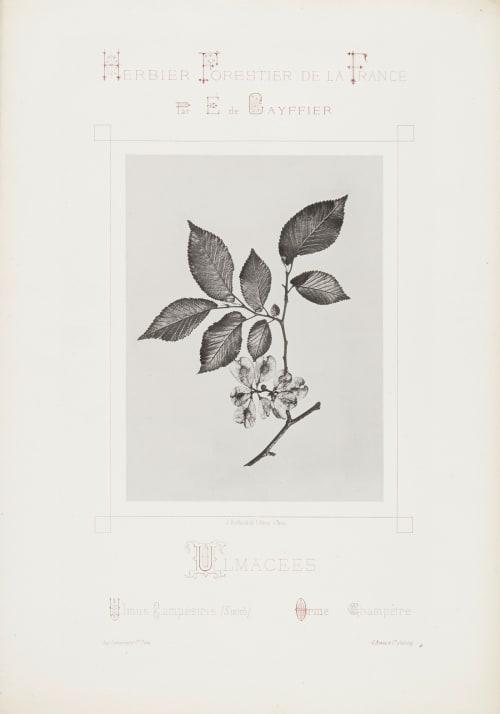 Ulmacees Gayffier, Eugène Charles de  (French, 1830-1910)