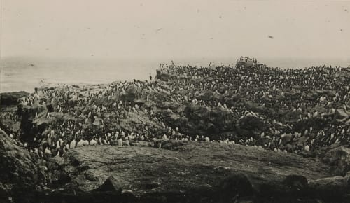 """Murres, or """"Arries,"""" on Walrus Island, Pribilof Group Chichester, H.D.  (American)"""